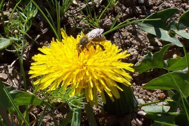 Biene auf einer Löwenzahnblüte