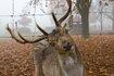 Damwild_Foto_Werner-Klapper_111109_010 (250x166).jpg