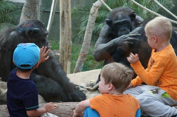 Schimpansen tierisch nah im Zoo Magdeburg