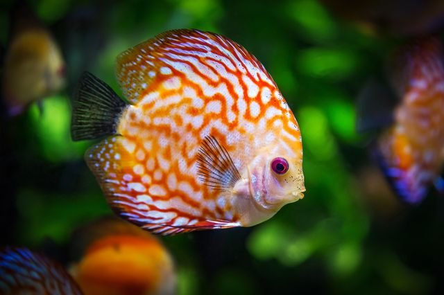 Diskus-Fisch