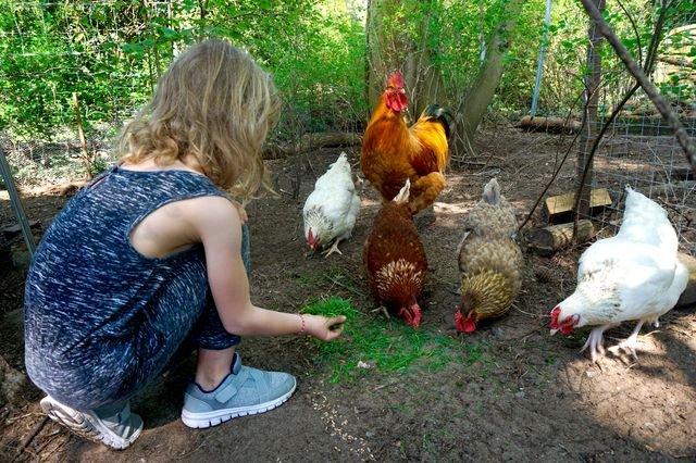 Hühner bei Familie Steinig
