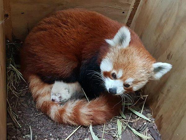 Kleiner Panda im Zoo Halle