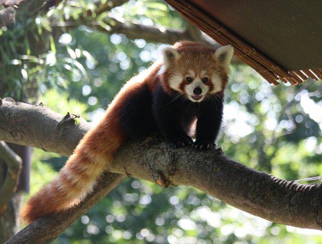 Roter Panda im Zoo Magdeburg