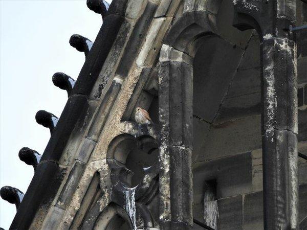 Turmfalken-Weibchen
